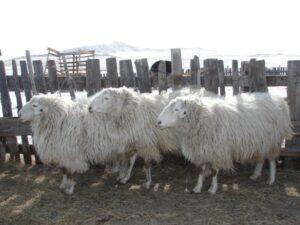овцы2